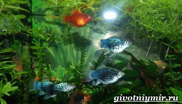 Пецилия-рыбка-Описание-особенности-уход-и-цена-пецилии-11