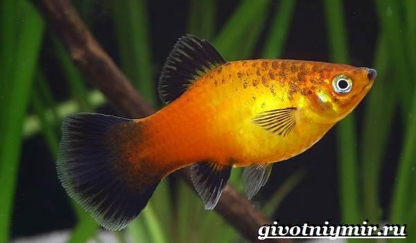 Пецилия-рыбка-Описание-особенности-уход-и-цена-пецилии-12