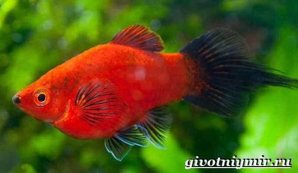 Пецилия-рыбка-Описание-особенности-уход-и-цена-пецилии-13