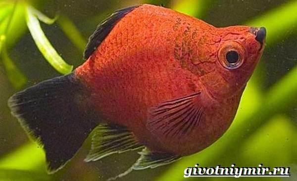 Пецилия-рыбка-Описание-особенности-уход-и-цена-пецилии-14