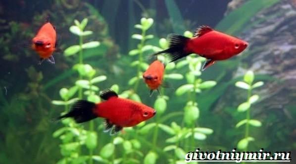 Пецилия-рыбка-Описание-особенности-уход-и-цена-пецилии-2