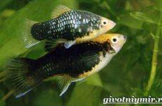Пецилия рыбка. Описание, особенности, уход и цена пецилии