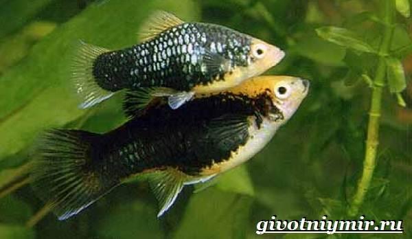 Пецилия-рыбка-Описание-особенности-уход-и-цена-пецилии-3