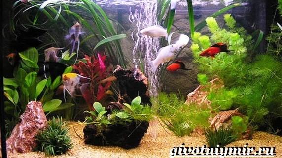 Пецилия-рыбка-Описание-особенности-уход-и-цена-пецилии-5