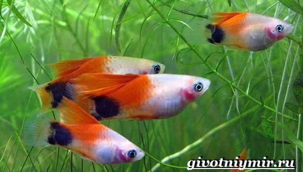 Пецилия-рыбка-Описание-особенности-уход-и-цена-пецилии-6