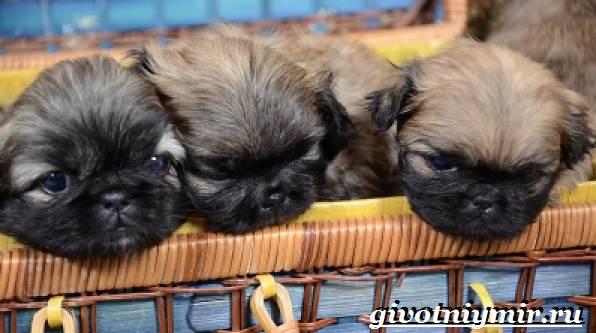 Пекинес-собака-Описание-особенности-цена-и-уход-за-пекинесом-10