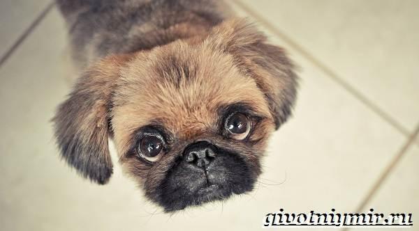 Пекинес-собака-Описание-особенности-цена-и-уход-за-пекинесом-2