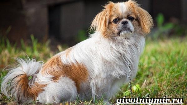 Пекинес-собака-Описание-особенности-цена-и-уход-за-пекинесом-20