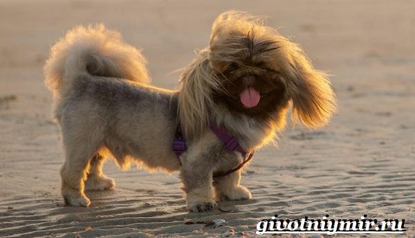 Пекинес-собака-Описание-особенности-цена-и-уход-за-пекинесом-21
