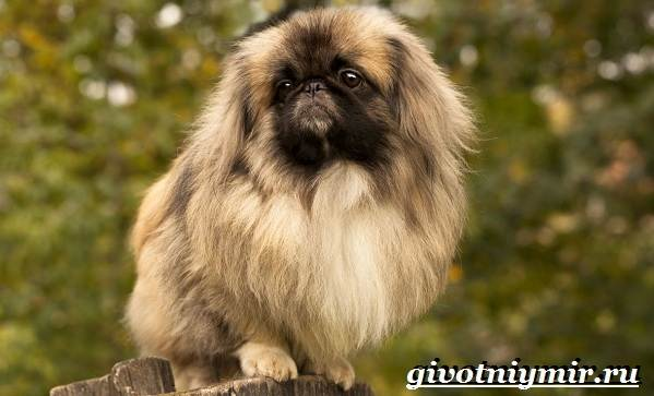 Пекинес-собака-Описание-особенности-цена-и-уход-за-пекинесом-3