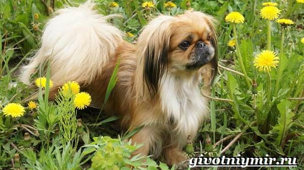 Пекинес-собака-Описание-особенности-цена-и-уход-за-пекинесом-4