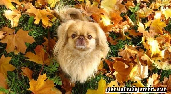 Пекинес-собака-Описание-особенности-цена-и-уход-за-пекинесом-6