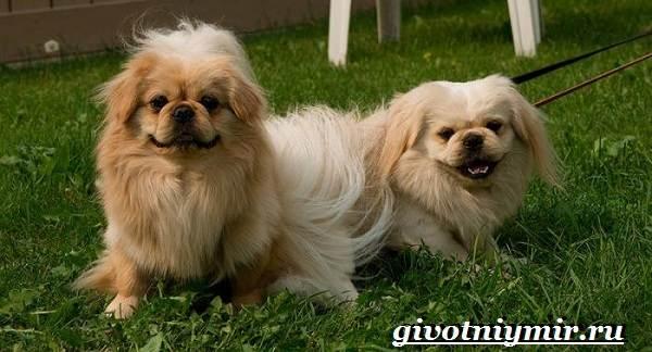 Пекинес-собака-Описание-особенности-цена-и-уход-за-пекинесом-7