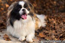 Пекинес собака. Описание, особенности, цена и уход за пекинесом
