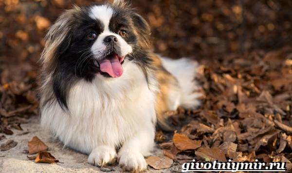 Пекинес-собака-Описание-особенности-цена-и-уход-за-пекинесом-8