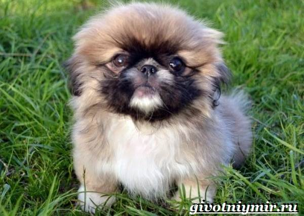 описание собаки пекинес
