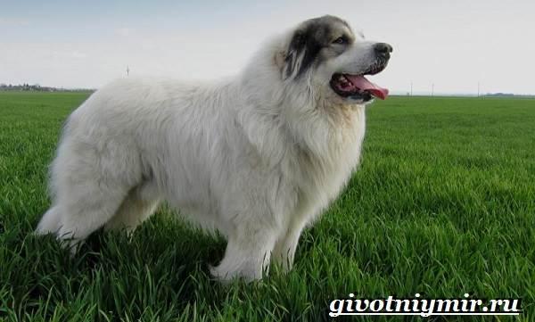 Пиренейская-овчарка-Описание-особенности-уход-и-цена-пиренейской-овчарки-9