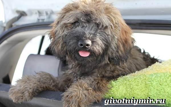 Пули-собака-Описание-особенности-уход-и-цена-породы-пули-1