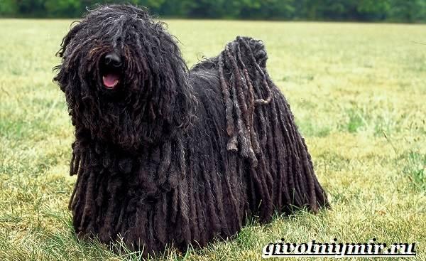 Пули-собака-Описание-особенности-уход-и-цена-породы-пули-3