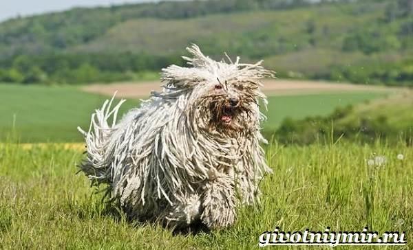 Пули-собака-Описание-особенности-уход-и-цена-породы-пули-5