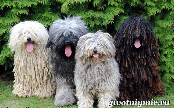 Пули-собака-Описание-особенности-уход-и-цена-породы-пули-6