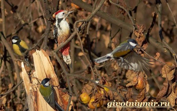 Пёстрый-дятел-птица-Образ-жизни-и-среда-обитания-пестрого-дятла-10