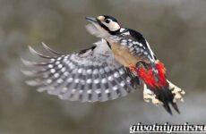 Пёстрый дятел птица. Образ жизни и среда обитания пестрого дятла