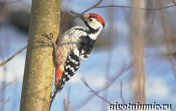 Пёстрый-дятел-птица-Образ-жизни-и-среда-обитания-пестрого-дятла-8