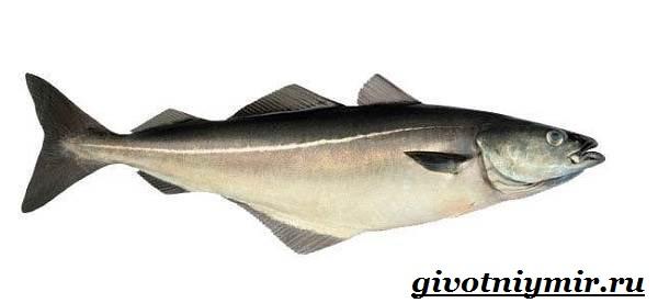 Сайда-рыба-Образ-жизни-и-среда-обитания-рыбы-сайды-1