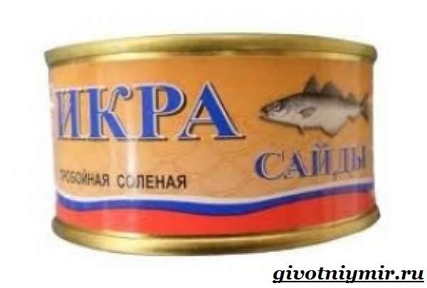 Сайда-рыба-Образ-жизни-и-среда-обитания-рыбы-сайды-15