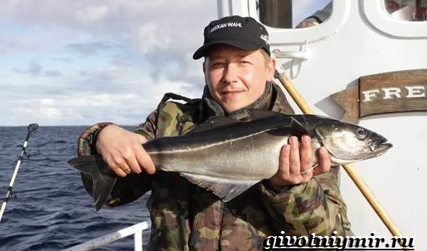Сайда-рыба-Образ-жизни-и-среда-обитания-рыбы-сайды-2