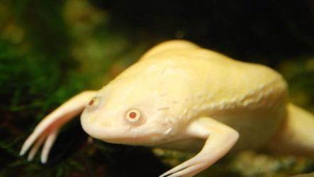 Шпорцевая лягушка. Описание, особенности, уход и цена шпорцевой лягушки