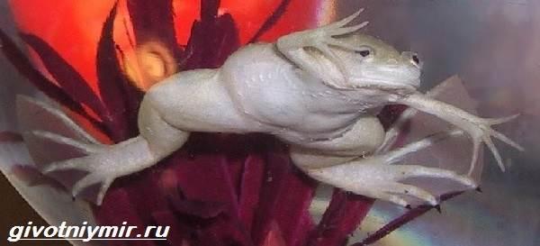 Шпорцевая-лягушка-Описание-особенности-уход-и-цена-шпорцевой-лягушки-5