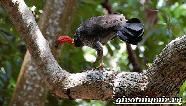 Сорная-курица-Описание-особенности-и-среда-обитания-сорной-курицы-2