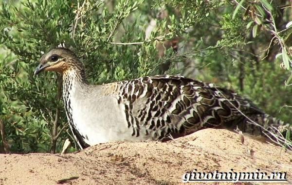 Сорная-курица-Описание-особенности-и-среда-обитания-сорной-курицы-6