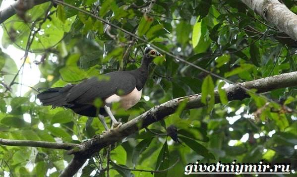 Сорная-курица-Описание-особенности-и-среда-обитания-сорной-курицы-7