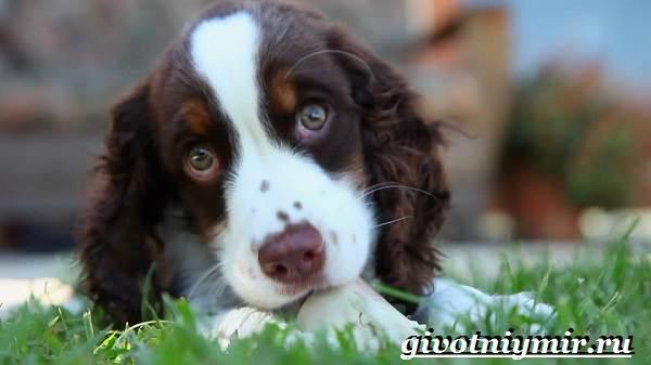 Спрингер-собака-Описание-особенности-уход-и-цена-породы-спрингер-1