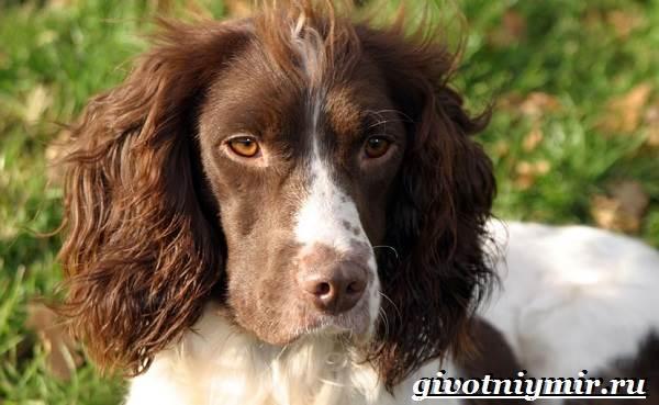 Спрингер-собака-Описание-особенности-уход-и-цена-породы-спрингер-3