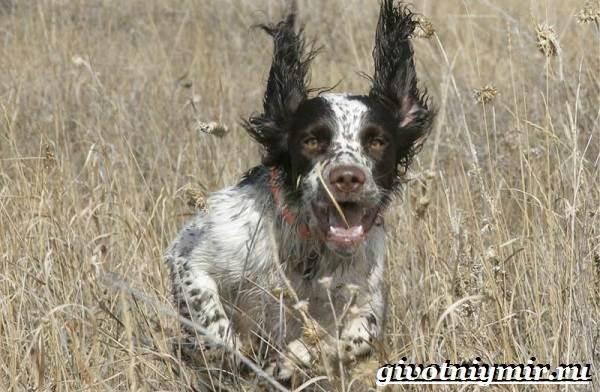Спрингер-собака-Описание-особенности-уход-и-цена-породы-спрингер-5