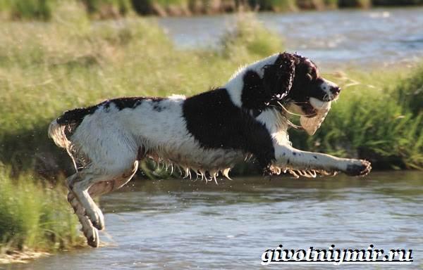 Спрингер-собака-Описание-особенности-уход-и-цена-породы-спрингер-7