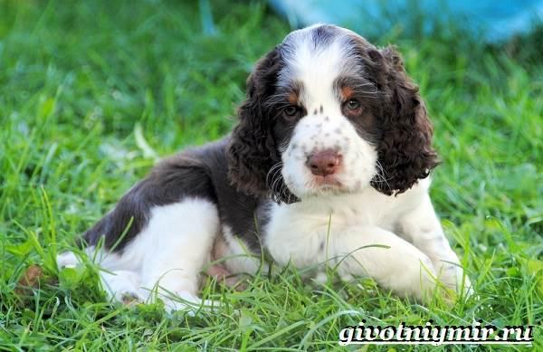 Спрингер-собака-Описание-особенности-уход-и-цена-породы-спрингер-8