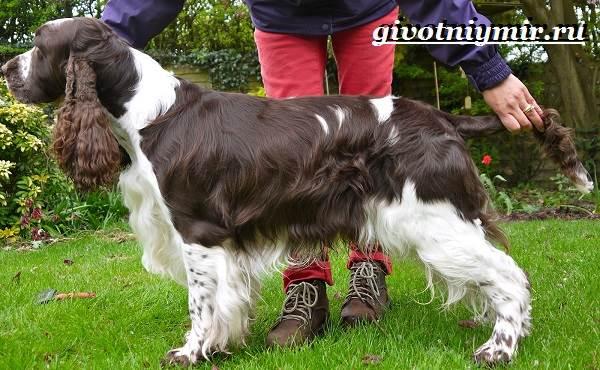 Спрингер-собака-Описание-особенности-уход-и-цена-породы-спрингер-9