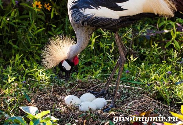 Венценосный-журавль-птица-Образ-жизни-и-среда-обитания-венценосного-журавля-10