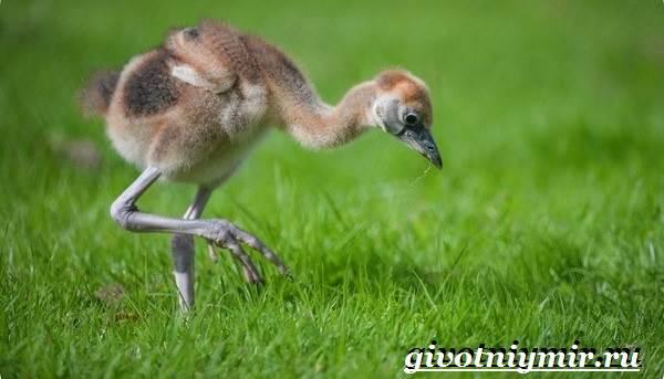 Венценосный-журавль-птица-Образ-жизни-и-среда-обитания-венценосного-журавля-18