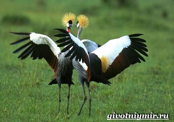 Венценосный-журавль-птица-Образ-жизни-и-среда-обитания-венценосного-журавля-3