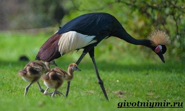Венценосный-журавль-птица-Образ-жизни-и-среда-обитания-венценосного-журавля-5