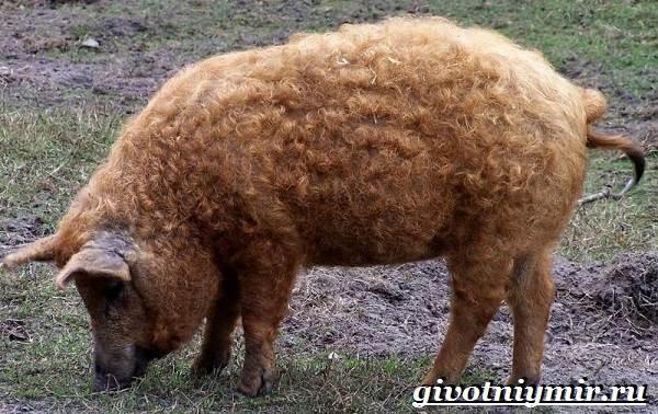 Венгерская-мангалица-свинья-Описание-особенности-уход-и-цена-венгерской-мангалицы-1