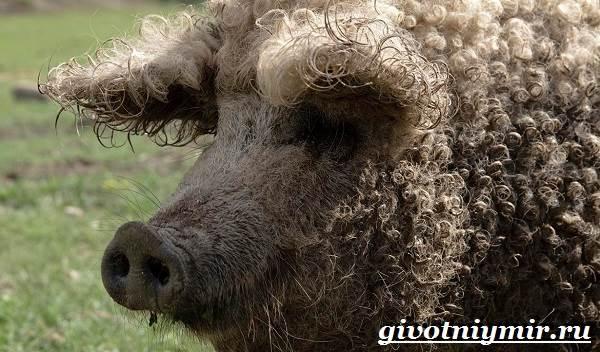 Венгерская-мангалица-свинья-Описание-особенности-уход-и-цена-венгерской-мангалицы-2