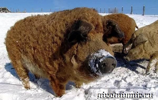 Венгерская-мангалица-свинья-Описание-особенности-уход-и-цена-венгерской-мангалицы-3