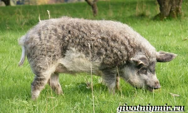 Венгерская-мангалица-свинья-Описание-особенности-уход-и-цена-венгерской-мангалицы-5